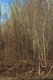 Topolowi lasy Zdjęcie Stock