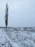 topolowy drzewo Fotografia Stock