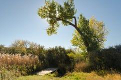 Topolowy drzewo z spadkiem barwi pałąkowatość nad małym drewnianym footbridge zdjęcia stock