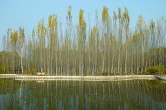 Topolowy las i jezioro Obrazy Stock