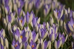 Toppa blu e bianca del croco Fotografia Stock