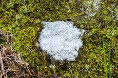Toppa circolare del lichene Fotografia Stock