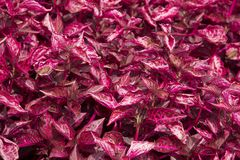 Toppa dei caladiums rosa della foglia della cinghia del jem Fotografia Stock Libera da Diritti