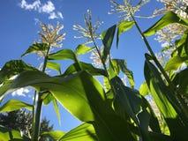 Toppa del cereale Fotografie Stock Libere da Diritti