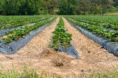 Toppa della fragola, campo con le file delle piante di fragola Fotografia Stock Libera da Diritti