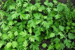 Toppa delle piante dell'artemisia comune Fotografia Stock Libera da Diritti