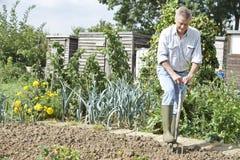 Toppa di verdure di scavatura dell'uomo senior su assegnazione Fotografia Stock