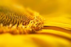Toppen bakgrund/solros för makrogulingblomma Royaltyfri Bild