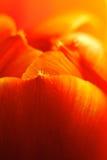 Toppen makroabstrakt begreppbild av den trädgårds- tulpan Royaltyfria Foton
