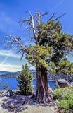 Toppig bergskedja en, Juniperusoccidentalis Arkivfoton