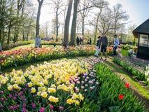 Toppna färgrika tulpan blomstrar i den berömda Keukenhofen Arkivfoto