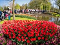 Toppna färgrika tulpan blomstrar i den berömda Keukenhofen Arkivfoton