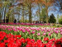 Toppna färgrika tulpan blomstrar i den berömda Keukenhofen Royaltyfri Foto