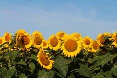 Toppna storleksanpassade solroshuvud i fält under blå himmel Fotografering för Bildbyråer