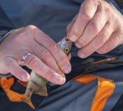 Toppositie op het aas in de handen die wordt gevangen van stock afbeeldingen