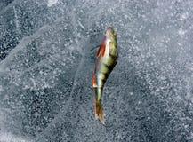 Toppositie op het ijs royalty-vrije stock fotografie