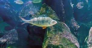 Toppositie - roofzuchtige vissen die in zoet water van Europa en Azië leven stock afbeeldingen