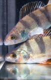 Toppositie twee zwemt in het aquarium royalty-vrije stock foto's