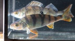 Toppositie twee zwemt in het aquarium stock afbeelding