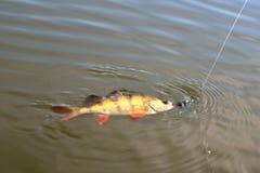 Toppositie, vissen met aasvortu op een haak op een vislijnzonneschijn stock afbeeldingen