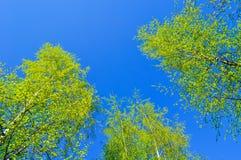 Tops amarilleados de árboles de abedul del bosque del otoño - paisaje del bosque del otoño Imagen de archivo