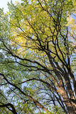 Tops of beautiful autumn trees with yellow foliage on sky backgr Stock Photo