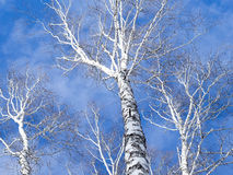 Tops of birch trees against the sky. Network birch branches against the sky. Some tree trunks. Daylight, sunny day, winter time, view from below Royalty Free Stock Photography
