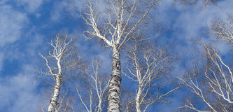Tops of birch trees against the sky. Panrama of three shots. Network birch branches against the sky. Some tree trunks. Daylight, sunny day, winter time, view stock images