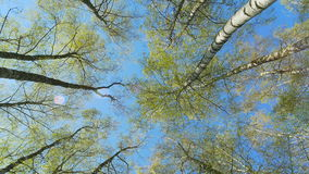 Tops of the birch trees in spring forest. Rotation of the sky. stock video
