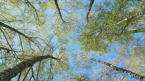 Tops of the birch trees in spring forest. Rotation of the sky. Tops of the birch trees in spring forest stock video footage