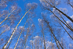 Tops of birches Royalty Free Stock Image