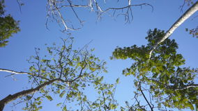 Tops of birches  in blue sky stock video footage