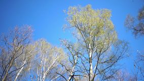 Tops of birches with young spring leaves against the background of the blue sky in sunny day.  stock video footage