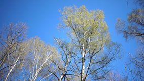 Tops of birches with young spring leaves against the background of the blue sky in sunny day.  stock footage