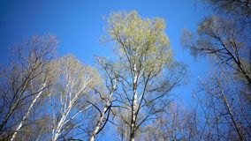 Tops of birches with young spring leaves against the background of the blue sky in sunny day.  stock video