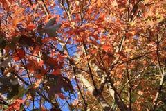 Tops calientes del árbol de Autumn Foliage Imagenes de archivo