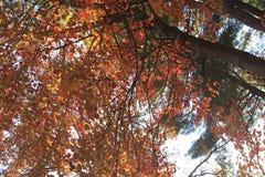 Tops calientes del árbol de Autumn Foliage Imagen de archivo