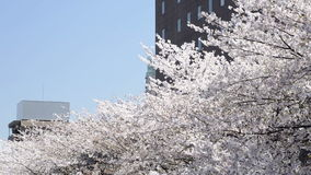 The tops of cherry blossom trees in Japan stock video