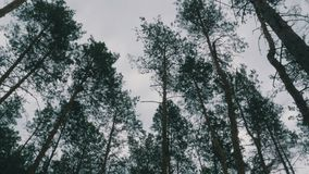 The tops of Christmas trees, pine forest in the summer swaying in the wind. Pine forest stock video footage