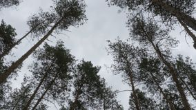 The tops of Christmas trees, pine forest in the summer swaying in the wind. Pine forest stock footage