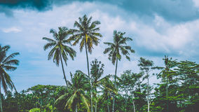 Tops of Coconut Palm Trees near Rice tarrace on cloudly sky ,Sidemen. Bali, Indonesia Royalty Free Stock Photo