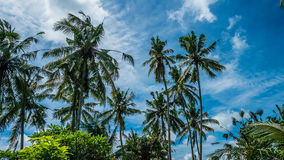 Tops of Coconut Palm Trees near Rice tarrace, Sidemen. Bali, Indonesia Stock Image