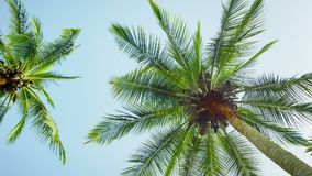 The tops of coconut palms on sky background stock footage