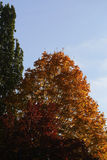 Tops of colorful autumn trees Stock Photo