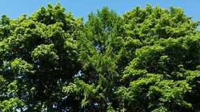 Tops of coniferous and deciduous trees in summer. Tops of coniferous and deciduous trees in a summer stock video