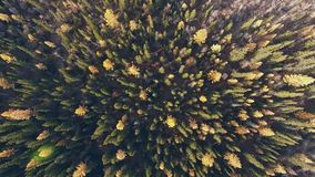 The tops of coniferous trees in a dense forest. Yellow treetops. The tops of coniferous trees in a dense forest. Yellow tree tops early fall: shot from a height stock video footage