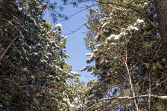 Tops of of coniferous trees in the snow Royalty Free Stock Images