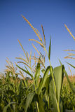 Tops of corn stalks. Against clear blue sky shot in summer Royalty Free Stock Photo