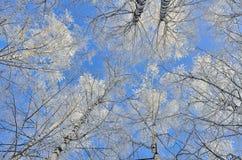 Tops de árboles de abedul con la escarcha cubierta en un backgro del cielo azul Imagenes de archivo