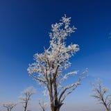 Tops de árboles cubiertos con escarcha Foto de archivo libre de regalías